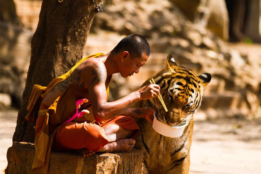 Monk sharing food with tiger